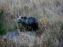 Yellowstone Fauna