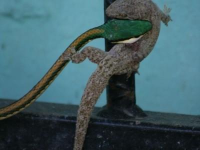 Schlange und Gecko